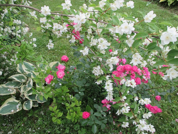 Соседство с розами и хостой