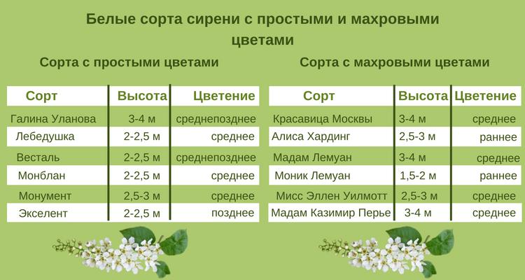 Таблица с белыми сортами сирени