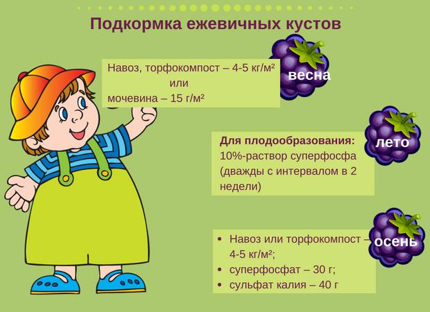 Изображение - Выращивание и уход за ежевикой ezevik