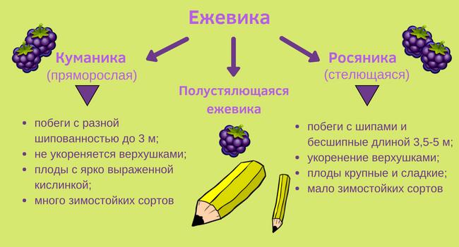 Сравнение куманики и росяники
