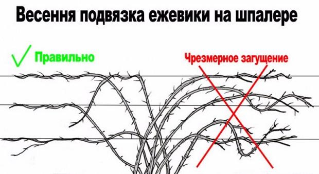 Схема весенней подвязки