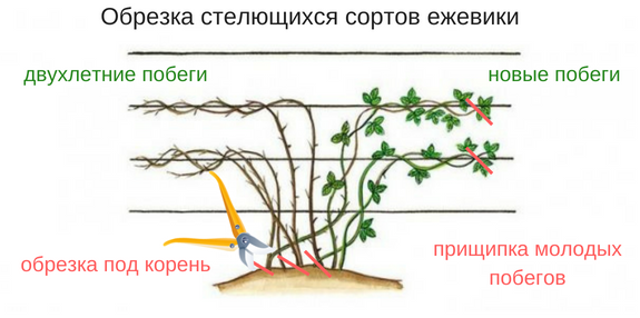 Изображение - Выращивание и уход за ежевикой prichipka