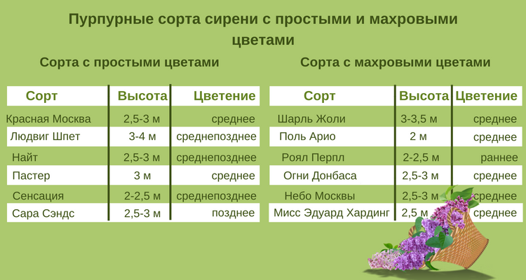 Таблица с пурпурными сортами сирени