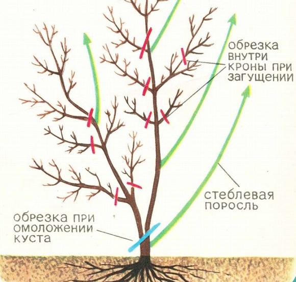 Схема срезки ветвей жимолости