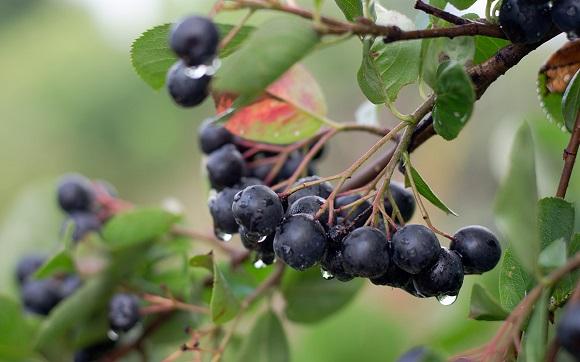 черноплодные плоды