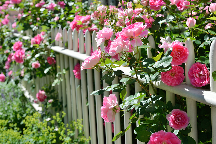подкормить розы