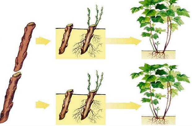 Схема получения новых плодородных кустов