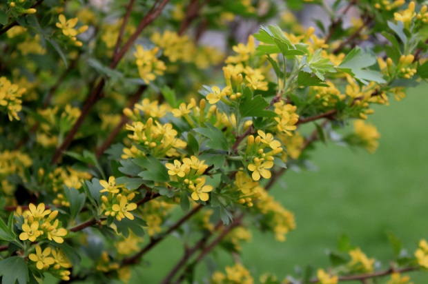 золотистую окраску цветков