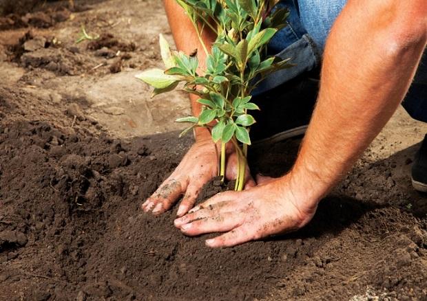 пересадка садовых пионов