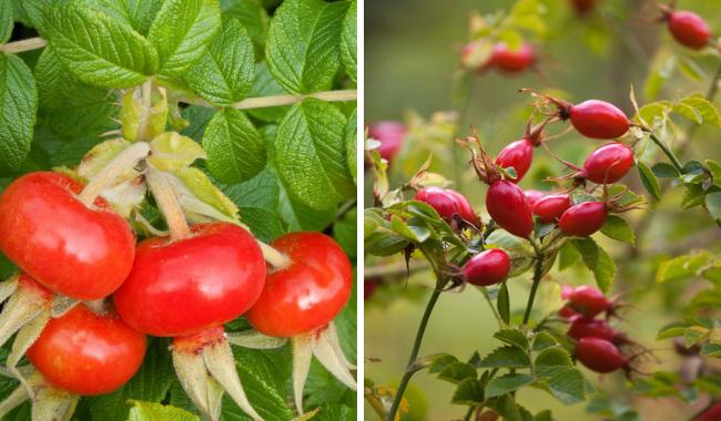 Круглые и продолговатые плоды