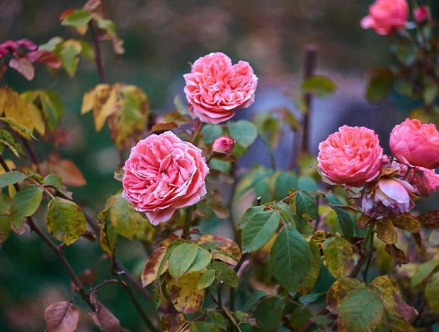осенняя обрезка розария